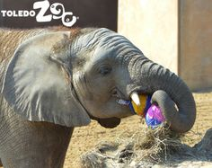 Lucas the African elephant calf. Photo: Kandace York www.toledozoo.org/egghunt