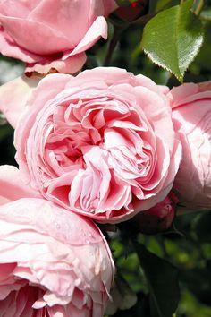 German rose Tantau Giardina