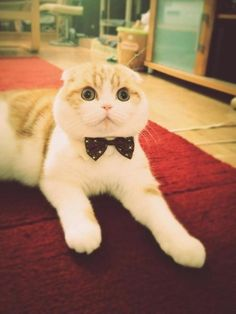 meow in a bowtie