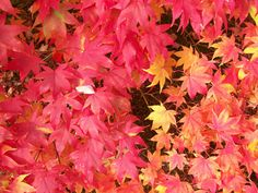 How to Find the Best Fall Foliage   Made + Remade http://blog.diynetwork.com/maderemade/2013/10/24/find-the-best-fall-foliage/