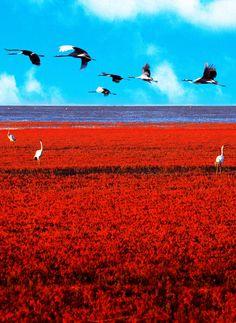 Panjin Red Beach, Liaoning, China: