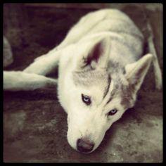 Siberian husky,husky facts, husky puppy