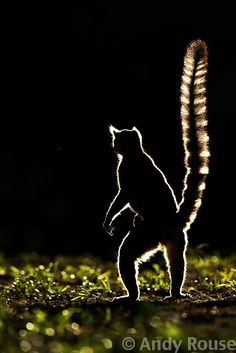 ring tail lemur by andy rouse