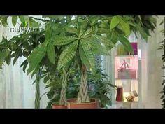 L'entretien d'une plante verte d'intérieur n'aura plus de secret pour vous! Découvrez comment s'assurer du bon entretien des plantes vertes d'intérieur en vidéo