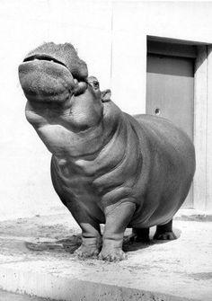Hippopotamus. Walter Sittig.