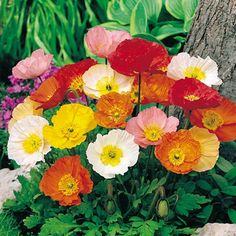 iceland poppies <3