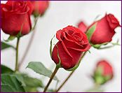 Rose Essential Oil Profile, Benefits and Uses