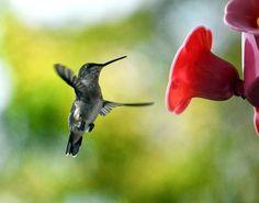 Colibri à gorge rubis (femelle)