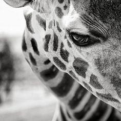 white animals, animal photography, black white, beauty, eyelash, beautiful creatures, photographi, eyes, giraffes
