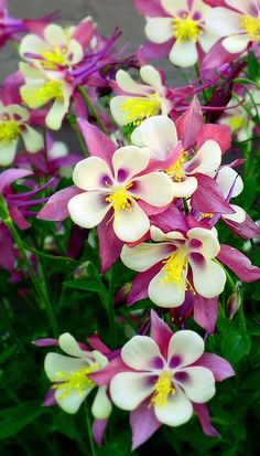 Mountain Red Columbine Wildflower Pink Flowers by SimplyLodge,