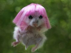 Hamster with pink hair