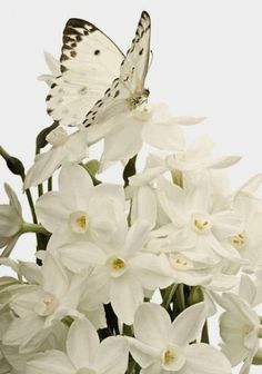 White daffodils.
