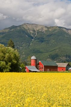 Red barn in field of yellow blooming canola flowers, Montana