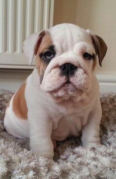 so sleepy #english #bulldog #englishbulldog #bulldogs #breed #dogs #pets #animals #dog #canine #pooch #bully #doggy #cute #sweet #puppy #puppies #bullies