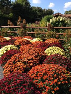 Mums can be cut back to within several inches of the ground once flowering ends. After the ground freezes, apply a 2 to 3 inch layer of loose mulch such as pine needles, straw or leaves.