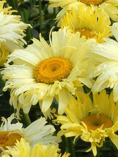Deepest yellow Shasta Daisy yet