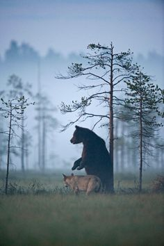 Photographer Lassi Rautiainen captured the profound partnership between a she-wolf and a brown bear in the wilds of northern Finland.