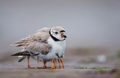 A mother piping plover on massachusetts's plum island plumps her feathers to provide warmth and protection to her chicks. Photo by michael milicia