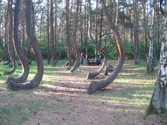 The Crooked Forest near Gryfino in west Poland.     Before WWII this part of Poland belonged to Germany. The Germans fashioned trees in this manner for use in making furniture and as building materials.