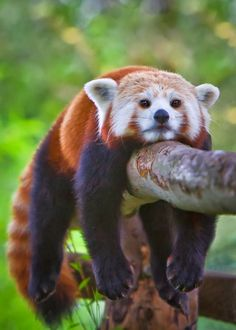 """Can't. Move"" --Red Panda Cub"
