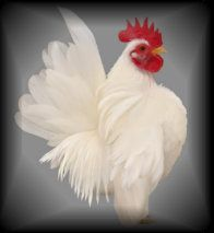 Jerry's Seramas jerri serama, serama chicken