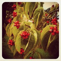 #dogwood #tree #blooms #berries? #outside #nature #leaves #ig #iger #igers #instagram - @foxymama923- #webstagram