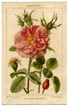 .rose botanical