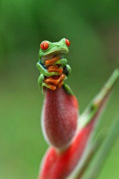 Red eyed tree frog, Costa Rica by Menno Dekker
