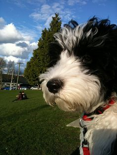 Penny the Portuguese Water Dog enjoying the park.
