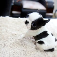 boston terrier omg I want to kiss her. i cant even take this omg i cant begin to even