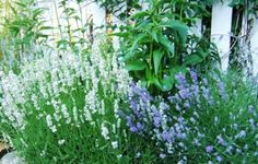 Homegrown lavender flowersare a lovely addition to a traditional recipe for herbes de Provence.