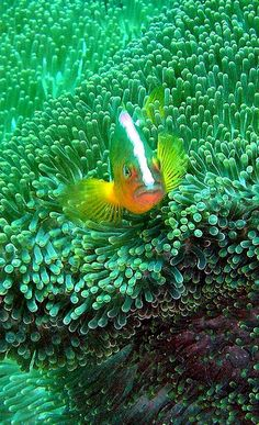 anemone fish.. Bali, Indonesia | Flickr - Photo by hanz.schulz