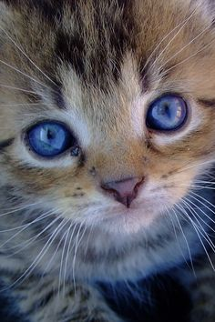 blue eyes ♥♥ and such a little sweetheart ball, animals, kitten, fur, blue eye, pet pictures, kitty, baby cats, baby blues