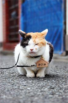 三毛猫 Japanese calico cat
