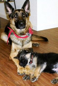 German Shepherds.....sweet puppy!