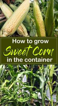 How to grow Sweet Co