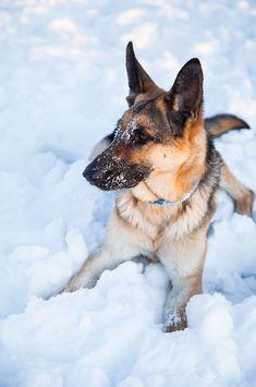 #German #Shepherd in the snow