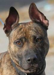 #289 Rocco is an adoptable Dutch Shepherd Dog in New Haven, CT. Two-Year-Old Rocco was left in our dog run one night. He is a sweet boy that enjoys walks and enjoys playing. He gets along well with ot...