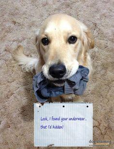 look I found your underwear that I'd hidden: typical Golden Retriever!!
