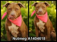 CODE RED! BEAUTIFUL NUTMEG IS DUE TO BE EUTHED AT NOON PDT TODAY, AUGUST 16, 2013 AT HARBOR SHELTER, SAN PEDRO, CA! NUTMEG HAS NO MORE EXTRA TIME LEFT! **IF YOU LIVE IN THE LOS ANGELES AREA, CONSIDER FOSTERING THE SWEET NUTMEG FOR 2 MONTHS! VISIT THIS LINK FOR MORE INFO.: http://www.laanimalservices.com/volunteer/foster-program/   Thank you!