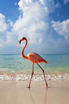 Flamingo walking on the beach.