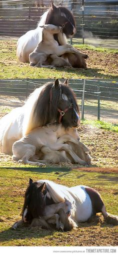 Gypsy horse cuddles her foal, so cute!