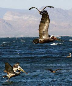 Brown pelicans in La Paz