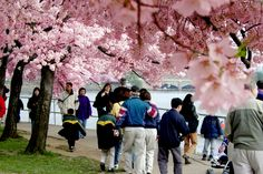 More than 1.5 million visitors descend on Washington, DC each year to admire the blossoming cherry trees. The accompanying National Cherry Blossom Festival is a celebration of spring like none other, with three packed weeks of diverse activities that highlight the gift of the cherry blossom trees and the peaceful relationship between the United States and Japan.  #DCCherryblossoms #CherryBlossomDC