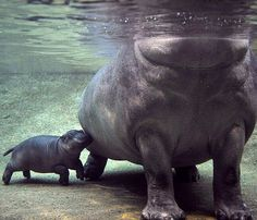 water, babi hippo, san diego zoo, mothers, little ones