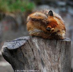 Sleeping anywhere   #fox #nature #photography