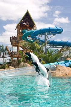 Meet the beautiful, black-and-white Commerson's Dolphins, the star animals at Aquatica.