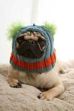 """What? My ears were cold!"" says the adorable Pug.."