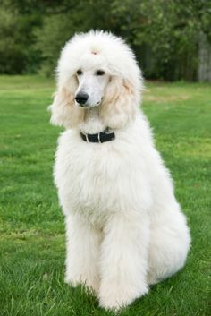 Standard Poodle - A Very Peaceful Breed!