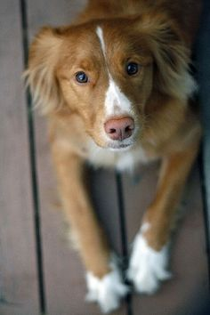 Dekster on the Porch by christopher.woo, via Flickr. Nova Scotia Duck Tolling Retriever. They are so sweet, I want one!